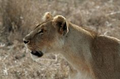 Lions rapidly disappearing from West Africa