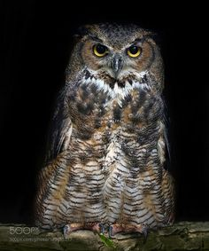 Great horned Owl by ikord #animals #animal #pet #pets #animales #animallovers #photooftheday #amazing #picoftheday