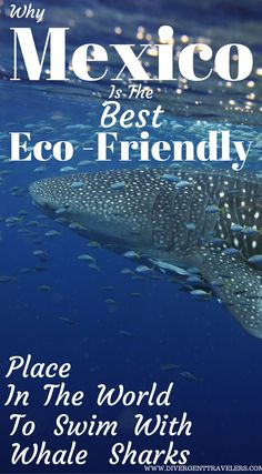 Why Mexico is the best Eco-friendly place in the world to swim with Whale Sharks. Swimming with Whale Sharks in Cancun Click to read the full Adventure Travel Blog Post By the Divergent Travelers at http://www.divergenttravelers.com/whale-sharks-cancun-mexico/
