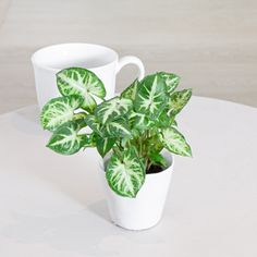 The distinctive shape of the Syngonium leaves stand out and give this plant it's nickname of arrowhead vine. This easy-care vining plant can trail or grow along a stake or a trellis for a lush and stunning addition to your home. Arrowhead Vine, Arrowhead Plant, Easy Care Indoor Plants, Organic Ceramics, Plant Lighting, Room With Plants, Herbs Indoors, White Leaf, Plant Sale