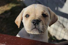 Straw Cane Corso puppy in Maxima lux kennel.