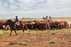 Droving cattle on Clayton Station, the Birdsville Track in Outback South Australia