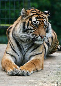 Tiger at Thrigby Hall Wildlife Gardens