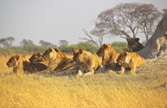 Pride of Lions Kills 5 Poachers in Sneak Attack - A pride of lions killed five poachers who were illegally hunting within the Zimbabwe National Park. Wildlife Photography, Animal Photography, Lion Facts, Sneak Attack, Lion Pride, Trophy Hunting, Animal Rights, Big Cats, Kenya