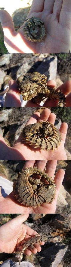 This may be the cutest little reptile ever. This Little Armadillo Lizard has stolen my heart. <3
