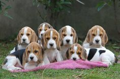 Are you interested in a Beagle? Well, the Beagle is one of the few popular dogs that will adapt much faster to any home. Whether you have a large family, p Cute Beagles, Cute Puppies, Cute Dogs, Dogs And Puppies, Animals And Pets, Cute Animals, Sweet Dogs, Amor Animal, Most Popular Dog Breeds