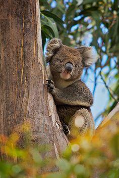 Koala, Hanson Bay, Kangaroo Island, South Australia