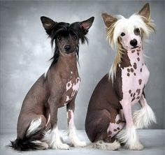 I want one of these.....Chinese Crested Hairless
