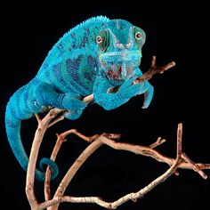 Panther Chameleon by Michael Kern