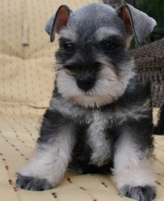 What Color Is My Schnauzer   Check out all my new schnauzer angels with their new haircuts ...