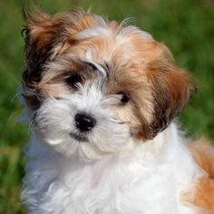 Shichon puppies or Teddy Bear puppies are lovable balls of fluff that love their families. Here are a few more facts about Shichon Teddy Bear puppies Teddy Bear Puppies, Pug Puppies, Cute Dogs And Puppies, Baby Dogs, Bear Puppy, Doggies, Shih Tzu Hund, Shih Tzu Puppy, Shih Tzus