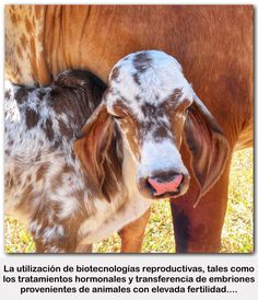 Esta revisión busca describir y discutir resultados de diversos estudios que evaluaron tasas de fecundación y de muerte embrionaria en bovinos lecheros con ovulación única o superovulados. VER MORT…