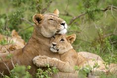 Lion cub affectionately hugs it's mother. It will depend on her for two years. Animals And Pets, Baby Animals, Cute Animals, Lion Pictures, Animal Pictures, Beautiful Cats, Animals Beautiful, Big Cats, Cute Cats
