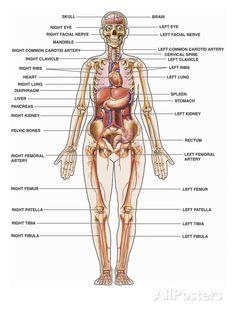female human anatomy images human anatomy organs pinteresthuman body muscles, human body organs, human body parts, human body systems,
