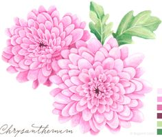 Chrysanthemum idea for tattoo  illustration | Big Print Little From Big Print Little blog owned by Allison, a textile designer and illustrator living in Melbourne, Australia