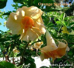 Orange Sensation Angel's Trumpet Brugmansia DBG
