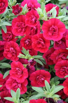 Proven Winners - Superbells® Double Ruby - Double Calibrachoa - Calibrachoa hybrid red plant details, information and resources. Blue And Purple Flowers, Love Flowers, Beautiful Flowers, Million Bells, Blossom Garden, Red Plants, Proven Winners, How To Attract Hummingbirds, Flower Quotes