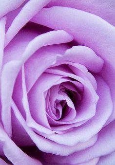 PRETTY  BEAUTIFUL LILAC ROSE