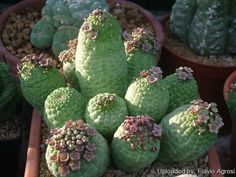 Lavrania cactiformis South Africa (Northern Cape, Richtersveld and Namaqualand, from Sendelingsdrift to Garies) and Namibia. This species is common, particularly on the quartz hills of western Bushmanland.