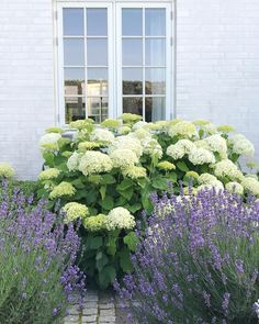 The blue lavenders are cut back and in a few months they will bloom again alongside the white Hydrangeas  My favorite color combination…