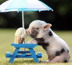 A tiny pig eating an ice cream on a tiny bench under a tiny parasol