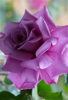 Rose Gardening Browse my pictures of purple flowers to aid you in plant selection. Like blue blossoms, this bloom color has a soothing effect. Purple Flower Names, My Flower, Cactus Flower, Lavender Roses, Purple Roses, Lavender Hair, Black Roses, Lavender Fields, Rare Flowers