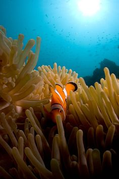 Finding Nemo while scuba diving in the Andaman Sea. Discover the magnificent marine world in the area! Khao Lak, Snorkelling, Krabi, Finding Nemo, Underwater World, Phuket, Scuba Diving, Sea, Earth