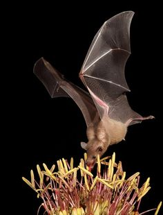 Bat feeding. In some parts of the world Bats are the primary pollinators for a multitude of plants.