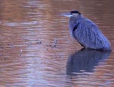 Blue at dawn   Endless Wildlife