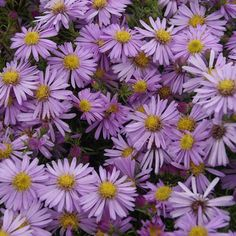 Bushy Aster, Hardy Aster  Aster dumosus 'Wood's Pink'  Zone 4-8