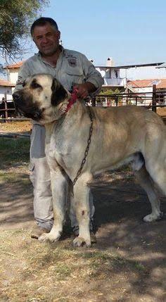 Turkish Kangal Dog