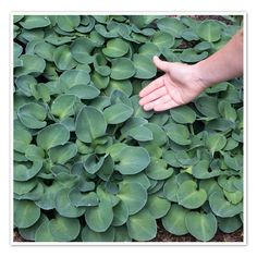 Hosta Blue Mouse Ears- weed blocking, ground cover