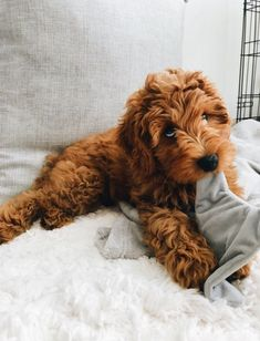 Oh myyyy 🥰 Precious pup! Cute Little Puppies, Cute Little Animals, Cute Dogs And Puppies, Cute Funny Animals, I Love Dogs, Cute Babies, Doggies, Mini Goldendoodle, Cavapoo