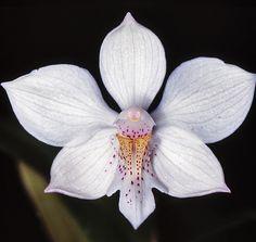 Diacrium bicornatum - Flickr - Photo Sharing!