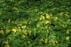 Welke bodembedekkers kan ik het beste toepassen op droge en schaduwrijke grond?   De Tuinen van Appeltern Evergreen Groundcover, Geraniums, Perennials, Perennial Plant, Herbs, Garden, Plants, Garten, Lawn And Garden