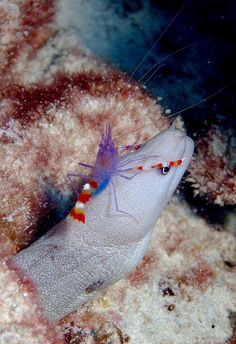 ༻✿༺ ❤️ ༻✿༺ Blue-Banded Coral Shrimp riding on the back of a Moray Eel | This Blue-Banded Coral Shrimp (Stenopus Tenuirostris) is always in the holiday spirit with its red and white striped claws which look exactly like candy canes. In the wild you can find them cleaning parasites and other unsightly gunk off of fish… at no charge! This really is the most merry of all creatures. Volunteering and spreading holiday joy to all! ༻✿༺ ❤️ ༻✿༺