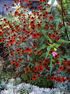 Rudbeckia triloba 'Red Sport' is there a more dependable flower than the black-eyed susan?