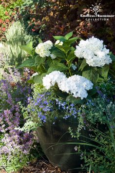 Fill a container with Blushing Bride hydrangea and accent flowers. You can use This example from Endless Summer Hydrangeas uses Great Blue Lobelia, licorice vine, and Diamond Frost Euphorbia to accent the Blushing Bride hydrangea. Container Flowers, Container Plants, Container Gardening, Endless Summer Hydrangea, Hydrangea Not Blooming, Blushing Bride Hydrangea, Hydrangea Varieties, Small Yard Landscaping, Landscaping Ideas