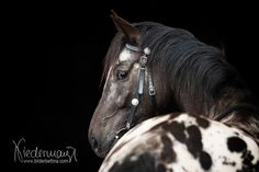 Appaloosa - Pferdefotografie, Hundefotografie, Fotografie Bettina Niedermayr Pferde - Mensch & Pferd - Hunde- Portrait - Stallschilder - Kalender, Pferdekalender, Haflingerkalender mit Kohlfuchs Liz. Steiermark