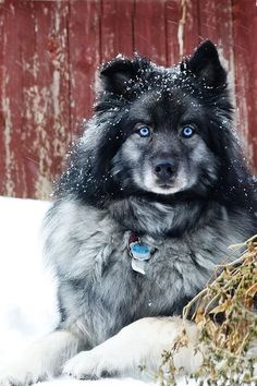 Gorgeous fluffy grey and black dog with blue eyes sitting in snow. This dog is so Pretty! عکس Please also visit www.JustForYouPropheticArt.com for colorful inspirational Art. Thank you so much! Blessings!