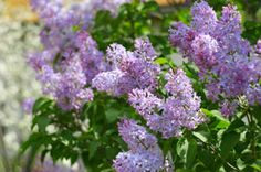 I live in Wyoming and have very sandy soil. I would like to plant lilacs and need to know the best time to plant and how to care for them.