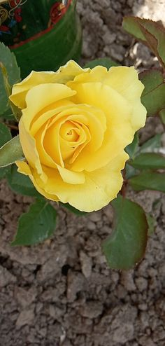 Roses Only, Yellow Flowers, All The Colors, Bouquet, Floral, Plants, Gardening, Beautiful, Photography