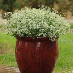 Endless clouds of small, pretty white flowers cover 'Glitz' euphorbia all summer long: http://www.bhg.com/gardening/gardening-trends/new-annuals-for-2015/?socsrc=bhgpin040815euphorbiaglitz&page=4