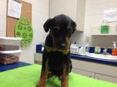 Fran is an adoptable Labrador Retriever Dog in Madison, WI. 8-10 weeks. Maybe a Lab Shep mix Available Sunday the 7th   many dogs listed are cross posted from high kill shelters we do pre-adoptions ...