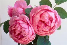 La rosa inglese Heather Austin