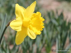 daffodils | Click the above thumbnail to view Large images of Daffodils