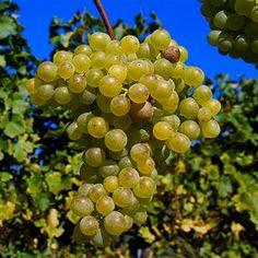 """Quando o nome é diferente, nada como começar pela pronúncia, na nossa opinião. O nome dessa uva, Grüner Veltliner, se pronuncia """"gruna velt-lina"""". Agora, um pouco de história... Grüner Veltliner é a uva mais importante da Áustria, ocupando cerca de 1/3 de todos os vinhedos do país."""