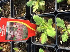 Sweet Praire Smoke babies growing in the Wildflower Farm greenhouse. Lovely harbinger of Spring.