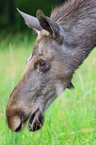 The head of a moose by Tambako the Jaguar