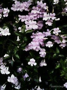Trumpet Flowers Noir